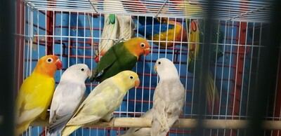 40 mix color lovebird special USPS Shipping
