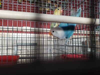 Fisher Blue Lovebird