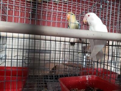 White Red Eye Lovebird