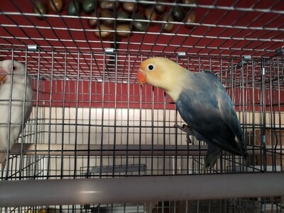 Violet Yellow Face Lovebird