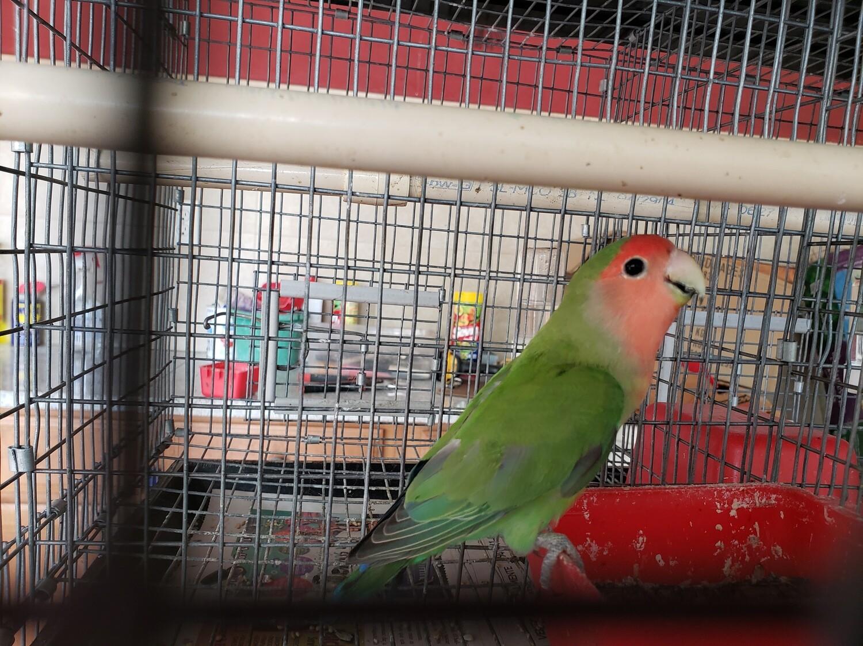 Green Peachface Lovebird