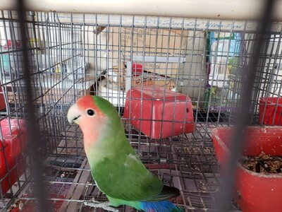 Green Peachface Male  Lovebird