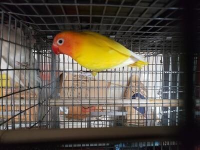 All Yellow Black eye Lovebird