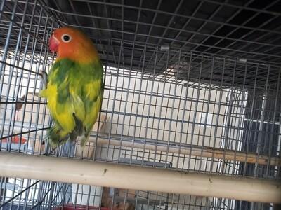 Green Arlequin fisher lovebird Lovebird