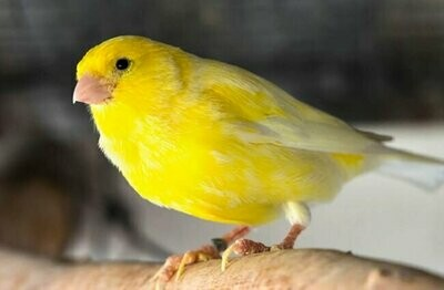 Yellow Canary Male