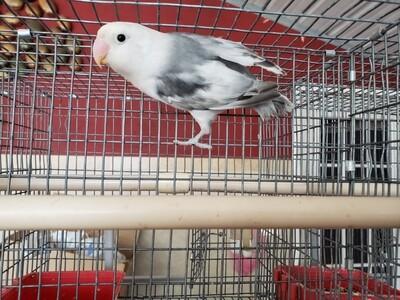 White head Arlequin  Lovebird