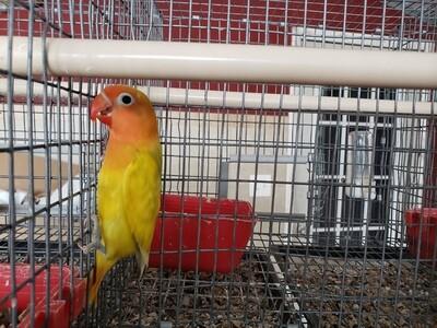 Yellow Fisher Pastel Lovebird