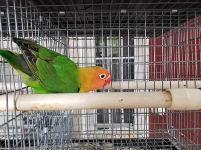 Green Orange Head Fisher Lovebird