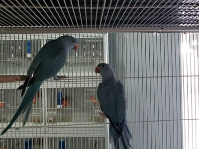 1 Pair of Blue Indian Ring Neck Including Shipping