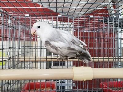 White head Arlequin Gray and White fisher Lovebird