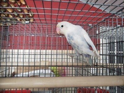 Delute blue and white Fisher Lovebird