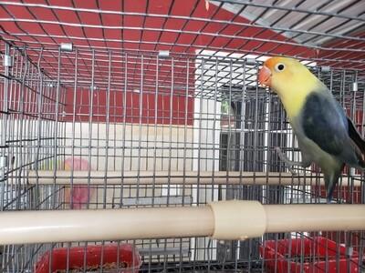 Dark Violet Clean Yellow Head Parblue  Lovebird