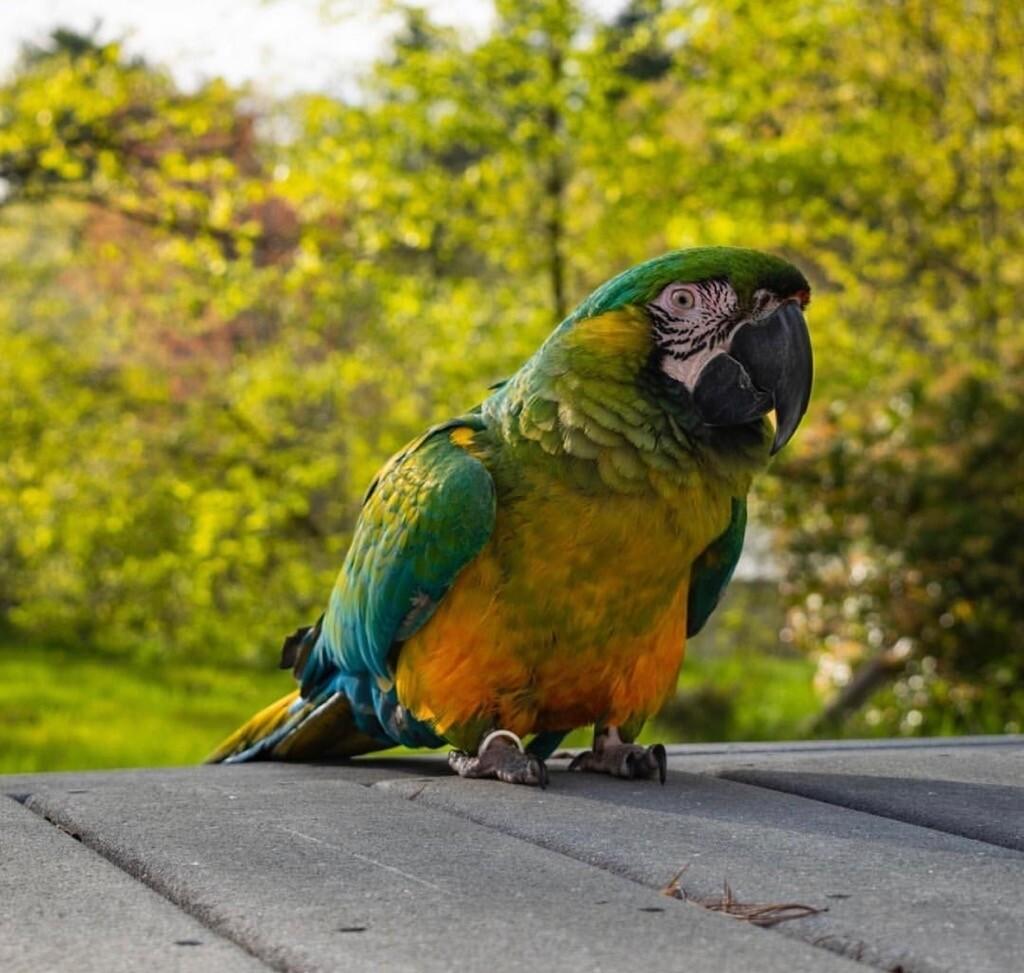 Miligold Macaw Pre-Order
