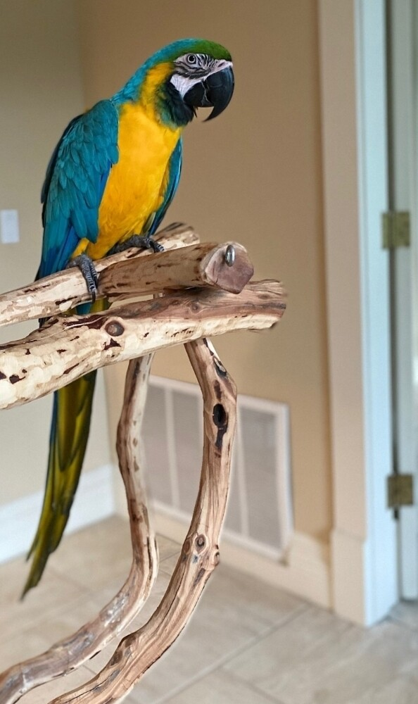 Blue and Gold Macaw   Pre-Order