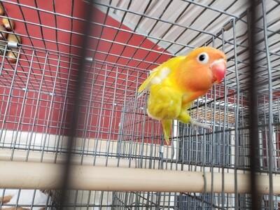Yellow Pastel Orange Head Fisher Lovebird