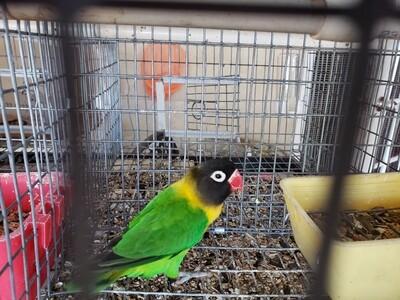 Green Black mask  lovebird
