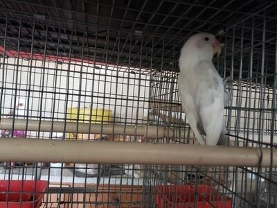 Gray & White Delute  Lovebird