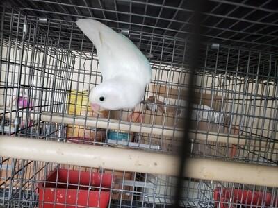 Adult All white Black Eye Lovebird