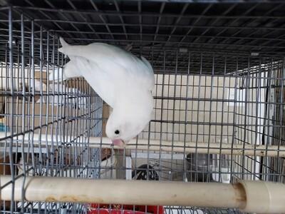 All white Black eye Lovebird