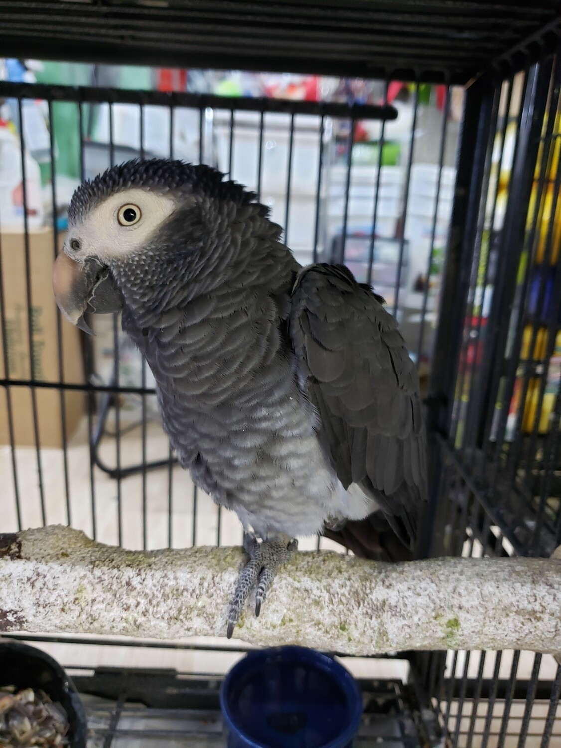 African Gray Male Timneh