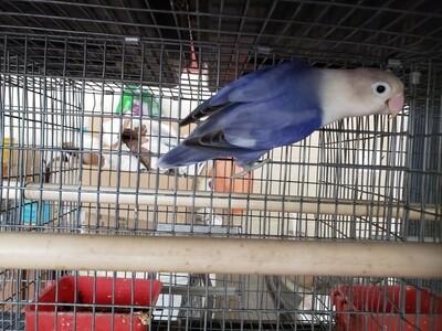 Adult Violet Fisher Lovebird