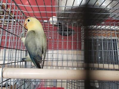 Clean yellow head Olive  Lovebird
