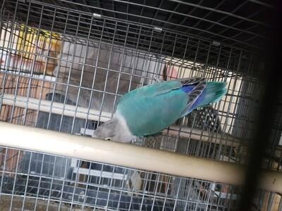 Aqua Blue Fisher Lovebird