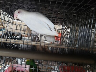 Adult lutino Red Eye Male Lovebird ( cage#11)