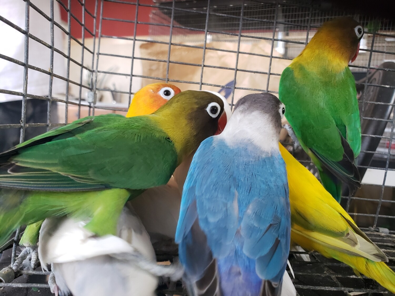20 Lovebirds Mix colors