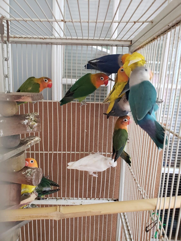 30 mix color Lovebirds Whoselr Deal