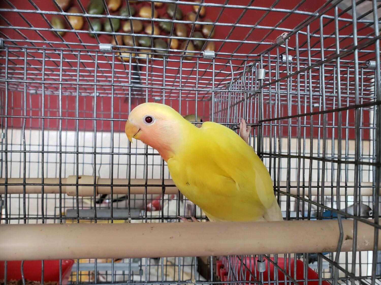Yellow Lutino Red Eye Female Peach Face Lovebird ( Cage#2)