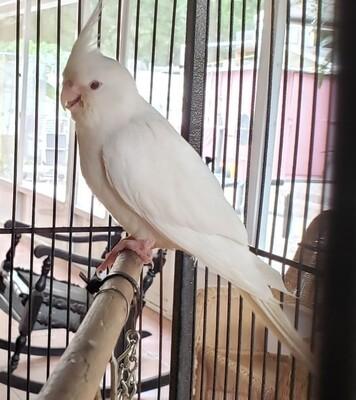 All White Albino Cockatiels