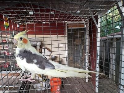 1 adult Cockatiel ( unsexed )