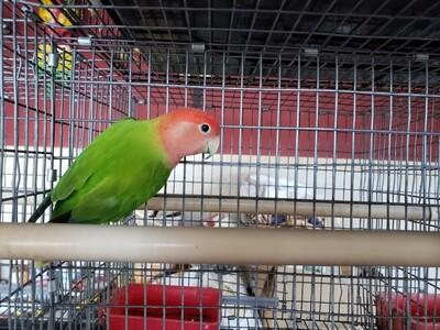 Green Opaline Peachface Lovebird