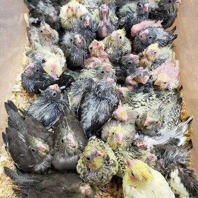 37 baby Cockatiels Unweaned