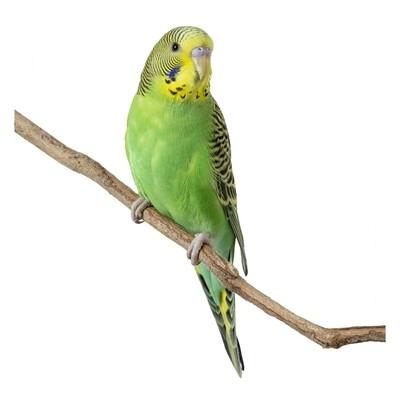 Green Female Parakeet