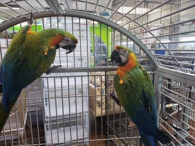 1 Pair of Macaws
