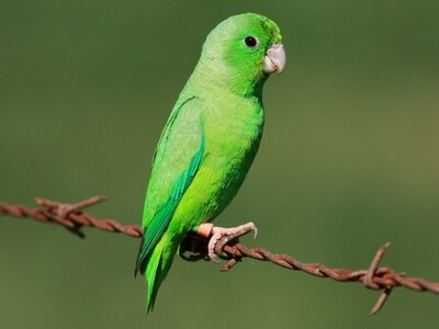 Green Parrotlet male