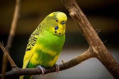 Green and Yellow Parakeet