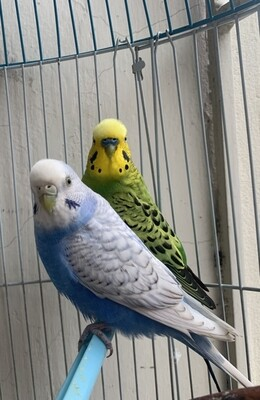 1 parakeet Pair Male And Female