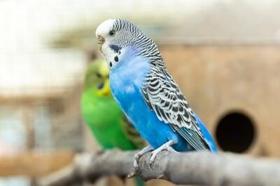 blue Female Parakeet