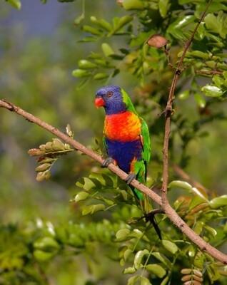Rainbow Lorikeet Female