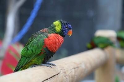 Green Naped Lorikeet Male