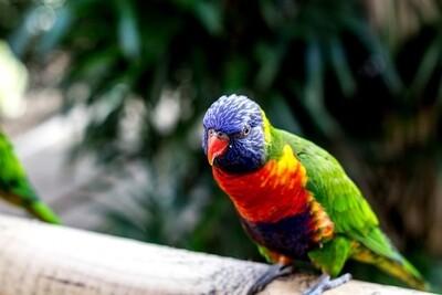 Rainbow Lorikeet Male