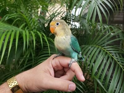 Yellow Face Lovebird