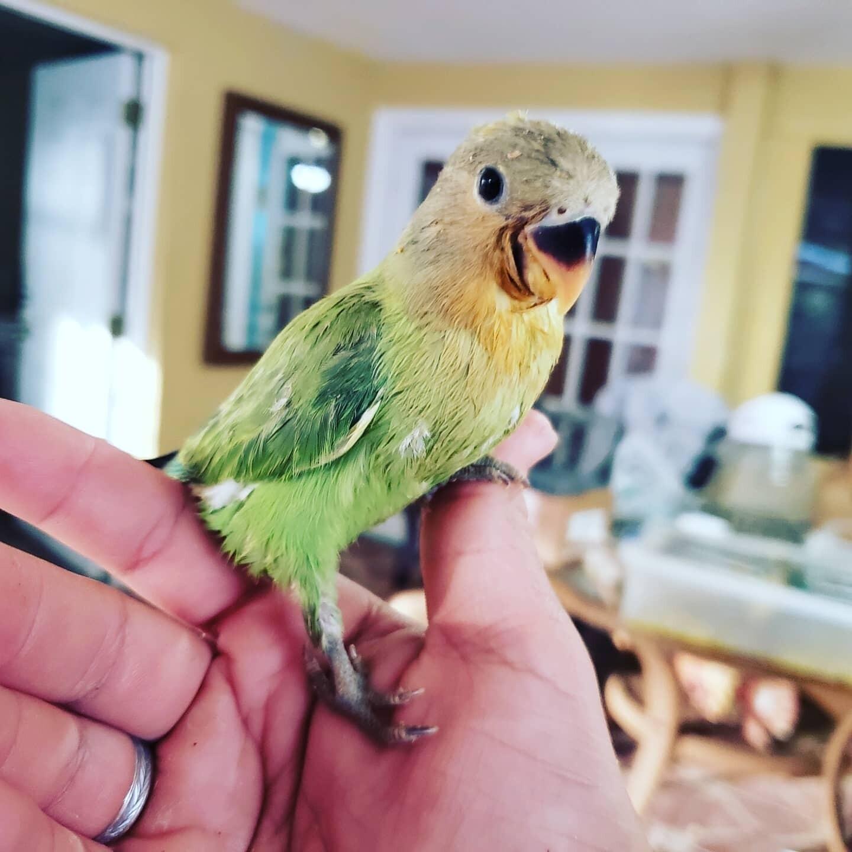 Baby green Peach Face Lovebird. Unweaned Pre-Order