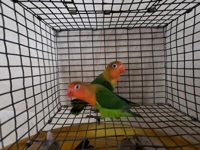 4 lovebirds special Green & Blue ( 2 males 2 females )