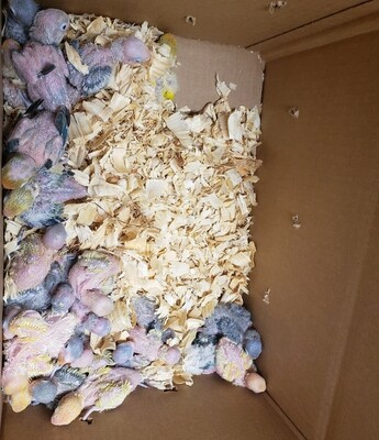 50 baby lovebirds mix colors Unweaned
