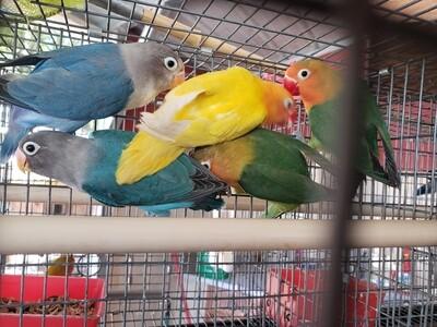 10 adult lovebirds mix colors