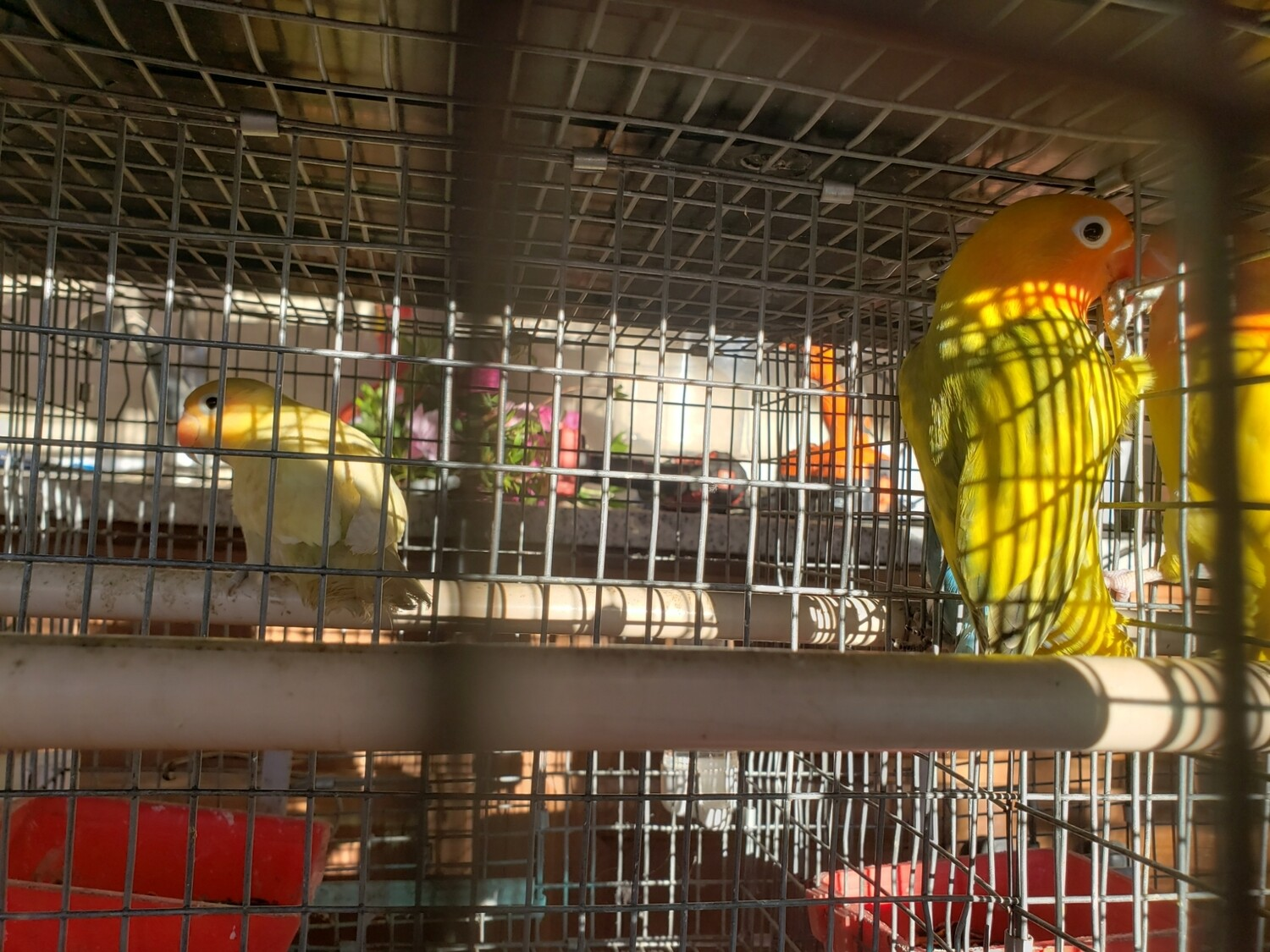 Green Male Fisher Lovebird ( Cage#25)